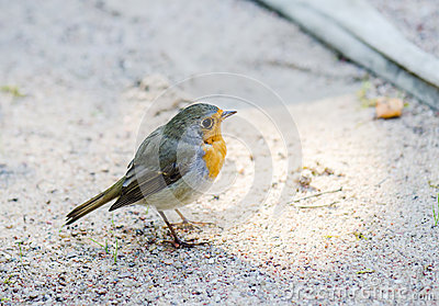 Citril finch. Small bird with a yellow breast Stock Photo