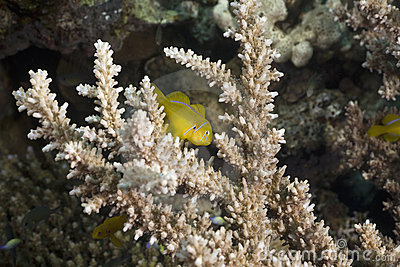 Citron coral goby (gobiodon citrinus)