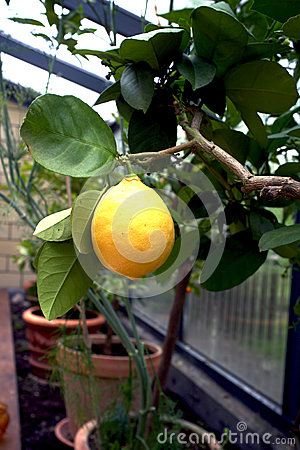 Citronträd i en drivhus