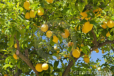 Citrontree