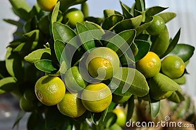citrus calamondin stock photo image 53342575. Black Bedroom Furniture Sets. Home Design Ideas