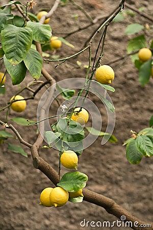 Citrus fruit on plant