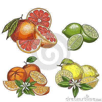 Free Citrus Fruits With Halves And Flowers. Lemon, Lime, Grapefruit, Orange. Stock Photos - 103000353