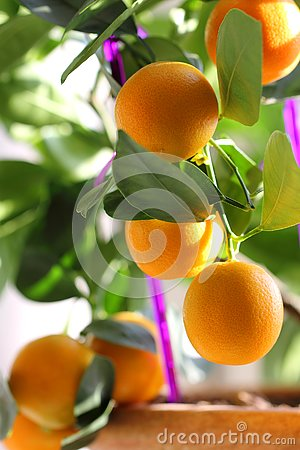 Free Citrus Kumquat In Houseplants Close Up Stock Photography - 129578832