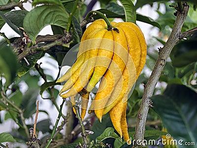 Citrus plant Buddhas hand