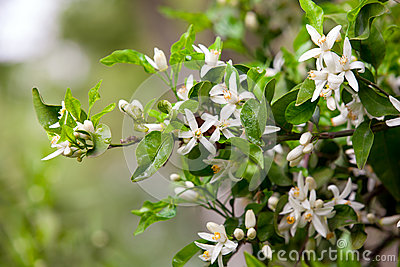 Citrus tree flowers