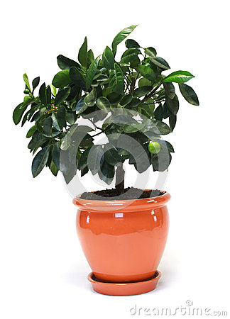 Free Citrus Tree In The Pot Stock Image - 25638681