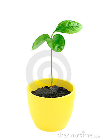 Citrus tree sprout in pot