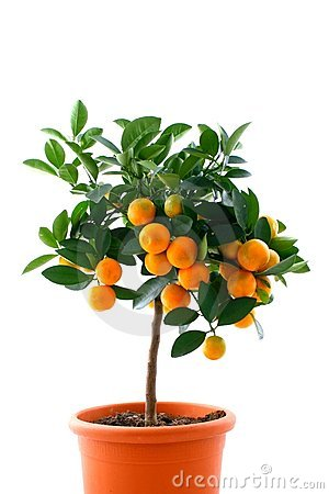 Free Citrus Tree With Fruit - Small Orange Royalty Free Stock Photos - 4020808