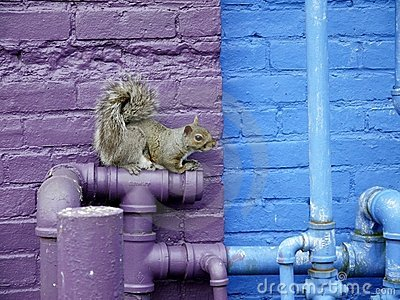City wildlife: squirrel on plumbing pipes
