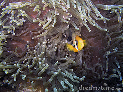 Clark s Anemonefish (Amphiprion clarkii)