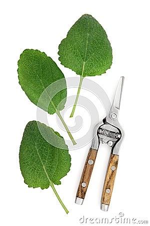 Clary Sage Herb