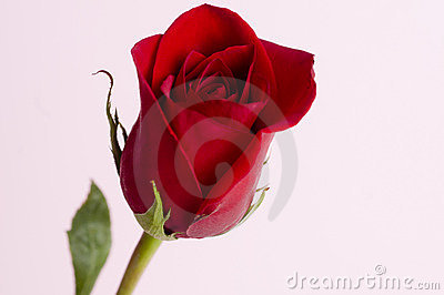 Classic single red rose