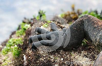 Claws of a Marine Iguana