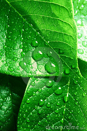 Free Clean Fresh Green Leaves Royalty Free Stock Image - 9355256