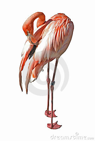 Free Cleaning Flamingo Stock Images - 5610274