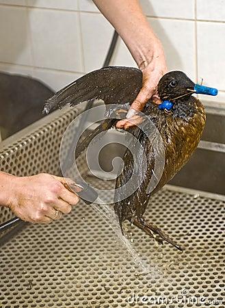 Cleaning an oil bird
