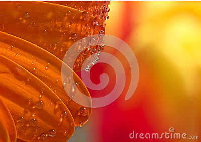 Clear Water Drops on Orange Flower Petals