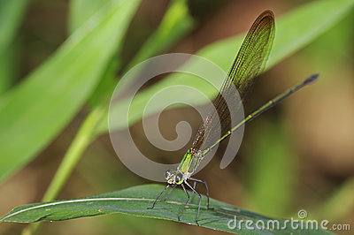 Clear-winged Forest Glory damselfly