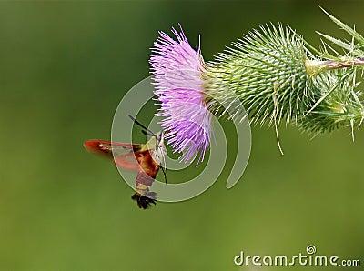 Clearwing的蜂鸟飞蛾