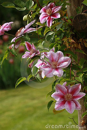 Free Clematis Royalty Free Stock Images - 2395909