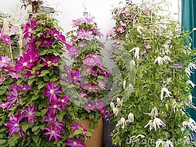 Clematis At Chelsea Flower Show