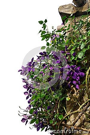 Clematis climbing arbor