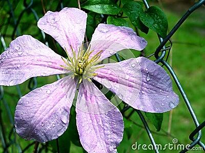 Clematis Flower & Rain