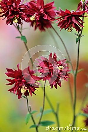 Clematis-flowered Columbine, Aquilegia vulgaris