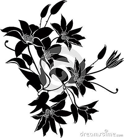Clematis flowers vector
