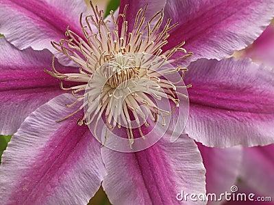 Clematis purple-pink