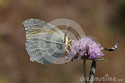 Cleopatra butterfly from Southern France, Europe