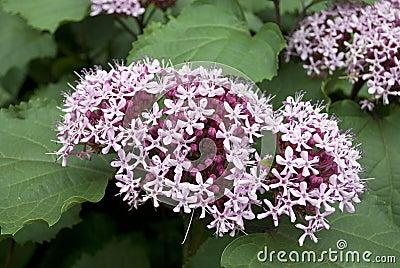 Clerodendron Bungei flower