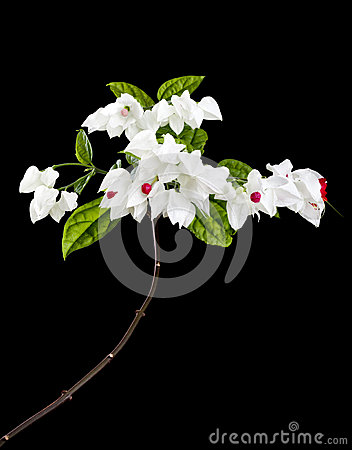 Clerodendron flowers isolated on black