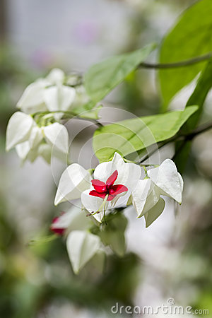Clerodendrum thomsoniae flowers