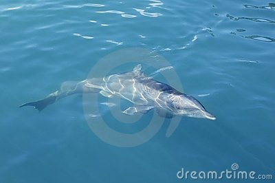 Clever Dolphin Swimming In Blue Turquoise Water Stock Photography - Image: 13507022