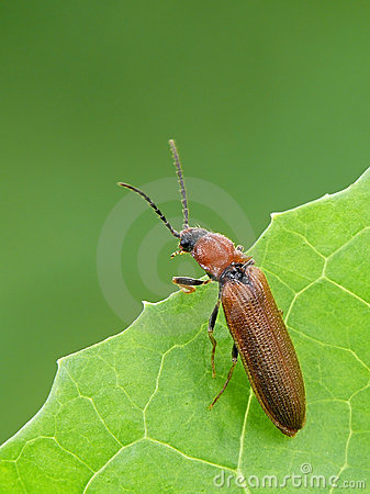 Free Click Beetle Royalty Free Stock Photo - 22754315