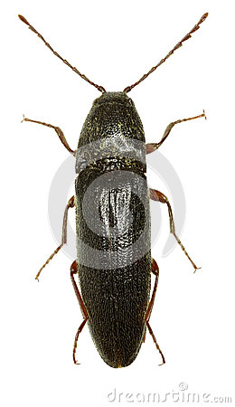 Free Click Beetle Melanotus On White Background Royalty Free Stock Photo - 93176425