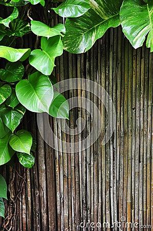 Climber bamboo