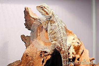Climbing Dragon