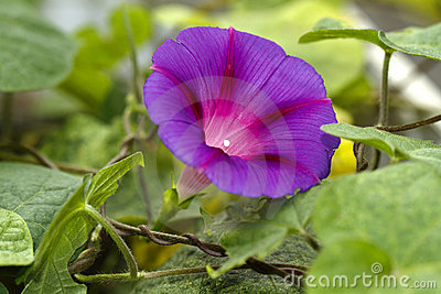 Climbing flower ipomea heavenly blue
