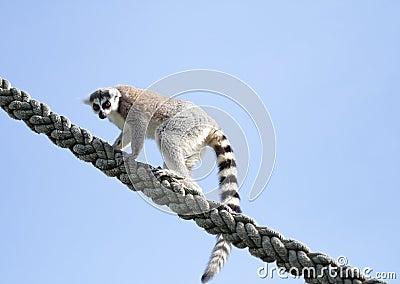 Climbing Lemur