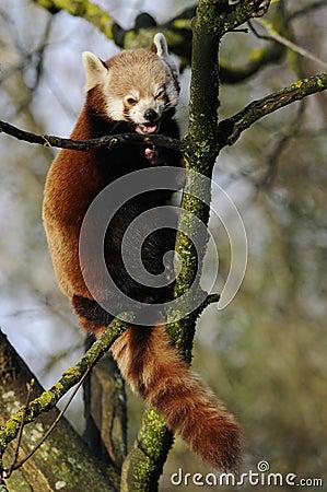 Climbing Red Panda