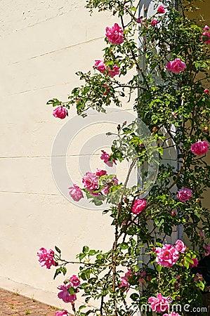 Climbing rose bush