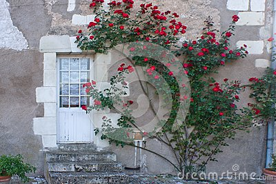 Climbing Rose bush in France.