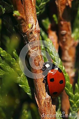 Climbing seven-spot ladybird
