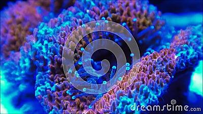 Clip vidéo de corail de cerveau de Micromussa clips vidéos