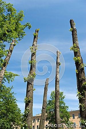 Clipped poplar trunks