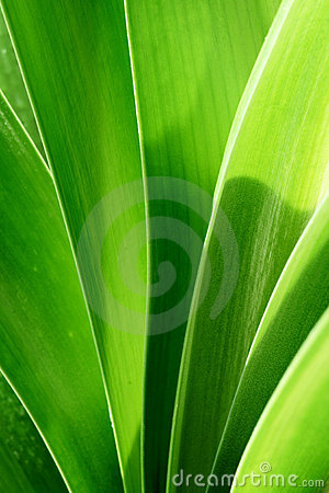 Clivia leaves