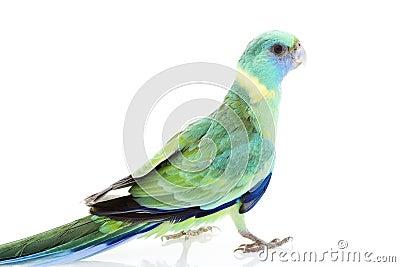 Clonclurry Parakeet